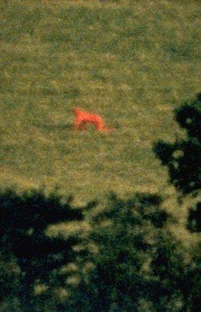 marcus-coates-red-fox