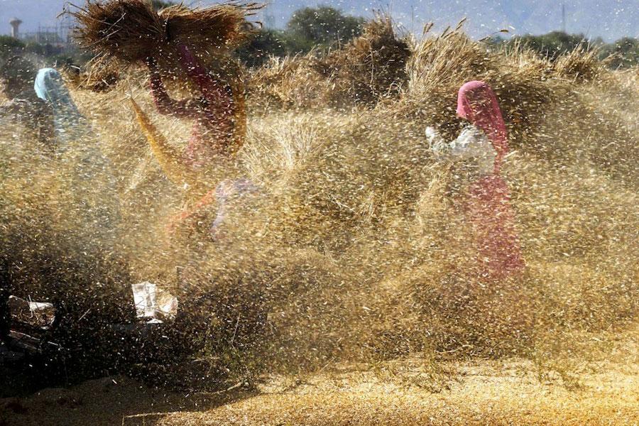 9-april,-Beawar--Indiase-boeren-dorsen-het-geoogste-tarwe-in-een-dorpje-in-de-provincie-Rajasthan